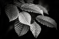 Black and white leaves Royalty Free Stock Photo