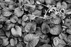 Black white Leaves vine texture background Royalty Free Stock Photography