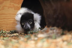 Black and white lemur detail Stock Photos