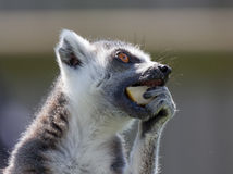 Black and white lemur Stock Photography