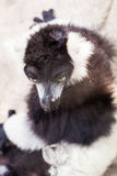 Black and white lemur on rock Stock Images