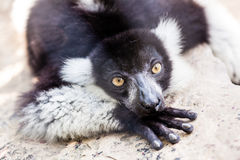 Black and white lemur on rock Royalty Free Stock Photography