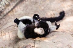 Black and white lemur on rock Stock Image