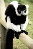 Black white lemur ruffed Royalty Free Stock Image