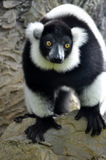 Black and white lemur Royalty Free Stock Photo