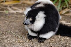 Black and White Lemur on Top of Brown Surface Royalty Free Stock Image