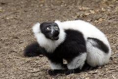 Black and white lemur vari Stock Photography