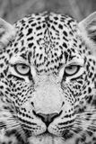 Black and White leopard. Close up full face of leopard in black and white stock image