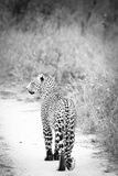 Black and White leopard. Leopard in black and white close to kruger South Afica Royalty Free Stock Image