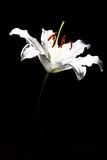 Black and white lily flower Stock Images