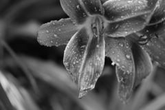 Black and white lily flower with water drops stock photos