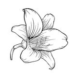 Black and white lily isolated on white background. Royalty Free Stock Photos