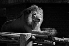 Black and White Lion. A cool and calm look of a lion gazing out from his captivity in Malaysia National Zoo stock photo