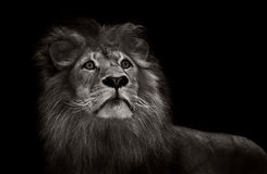 Black and white lion Royalty Free Stock Photography