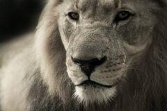 Black and White Lion Photograph Stock Photography