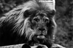 Black and white lion profile. royalty free stock image
