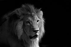 Black and White lion relaxing. A lion relaxing under the shade and his facial expression showed stock photo