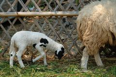 Mother and baby lambs. A black and white litter baby lamb walking behind its mother royalty free stock photo