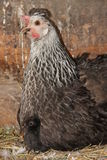 Black and white with little black hen chicken hidden in feathers Royalty Free Stock Photo