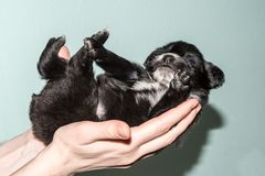 The black and white little dog. Very cute black puppies. Beautiful puppies. little puppies. The black and white little dog Royalty Free Stock Photos