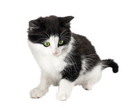 Black and white little kitten Royalty Free Stock Image
