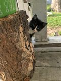 Pick a boo kitty behind a piece of wood. Black and white little kitten playing pick a boo behind a piece of wook royalty free stock images