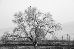 Black and White Lone Tree. A black and white photo of a lone tree Royalty Free Stock Photos