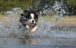 Black White Long Coated Dog Dashing Trough Body of Water Royalty Free Stock Image