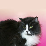 Black and white long hair tuxedo cat with green eyes Royalty Free Stock Images