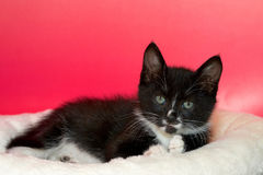 Black and white long hair tuxedo kitten with green eyes Stock Photo