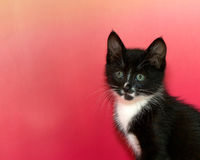 Black and white long hair tuxedo kitten with green eyes Stock Photography