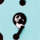 Black and white long-haired cat sits in the hole on a turquoise wall. Stock Photography