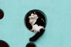Black and white long-haired cat sits in the hole on a turquoise wall. Royalty Free Stock Photo