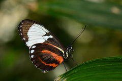 Black and White long wing butterfly lands in the gardens Stock Images