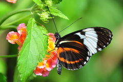 Black and White Longwing Butterfly Stock Photos