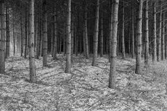 Black and white forrest in New York Mills, Minnesota. Black and white looking into a dark forrest in New York Mills, Minnesota royalty free stock image