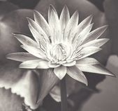 Black and white Lotus flower stock images