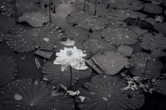 Black-and-white lotus flower photo Royalty Free Stock Photography