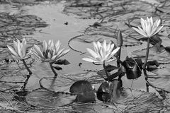 Black and white lotus flower. In pond Stock Photos