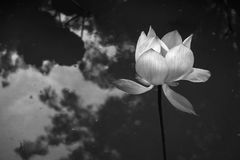 Black and white lotus nucifera. In the marsh Royalty Free Stock Photo