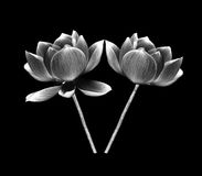 Black and white lotus petal flower isolated on white Royalty Free Stock Photography