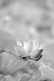 Black and white lotus Stock Images