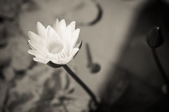 Black and white lotus Stock Image