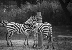 Black and white. Loving zebra friends Royalty Free Stock Photos
