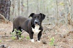 Black and white low-rider Lab Basset Bulldog mixed breed dog stock images