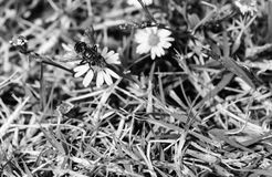 Black and white, Macro photo of a common house fly that has landed on a small wildflower Stock Photography