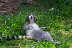 Black White madagascar lemur in zoo Royalty Free Stock Photography