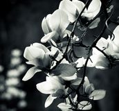 Black and white magnolia Royalty Free Stock Photo
