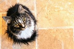 Black and White Maine Coon Cat Stock Photos