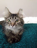 Black and white maine coon cat Royalty Free Stock Photography